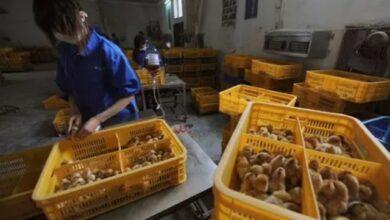 Photo of China relata primeiro caso em humano da cepa H10N3 da gripe aviária